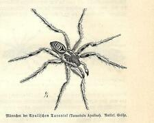 Stampa antica INSETTI RAGNO TARANTOLA INSECTA 1891 Old antique print