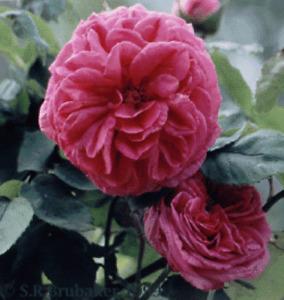 Strauch Rose Duc de Cambridge enormer Duft starkwüchsig reichblühend wurzelnackt