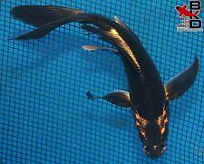 "New listing 6"" Butterfly Gold Crown Karasu Live Koi Fish Pond Garden Bkd"