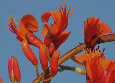Erythrina Vespertilio - Bat Wing Coral Tree - Rare Tropical Plant Tree Seeds (5)