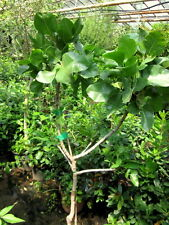 FEIGENBAUM Ficus carica /'Brown Turkey/' 170cm süsse Feige frosthart