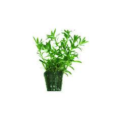 6 x 5 cm Pots of Heteranthera zosterifolia