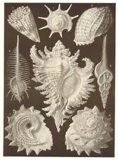 MUREX. Calcar Conus Harpa ventricosa tenuispinus inflatus Fusus longicauda 1907