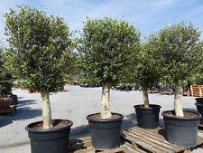 Olivenbaum 170 - 190 cm, 45 Jahre alt, beste Qualität, winterharte Olive