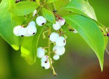 White Indigoberry, randia aculeata florida native indigo berry seed -50 seeds