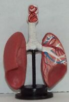 Doll miniature handcrafted Medical lung model 1/12th scale
