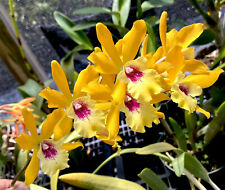 Eny. Jackie Bright 'Hilo Stars' Cattleya Orchid Plant. Near Blooming Size.