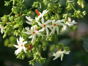 Coral Jasmine 24 Seeds  ( Nyctanthes arbor-tristis ) Coral Parijat Pavazhamalli