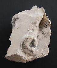 MALM glochiceras tectum Ammonit con foce su matrice Gräfenberg w51-5