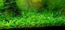 Dwarf Sagittaria Subulata Freshwater Live Aquarium Plant 5 Stems