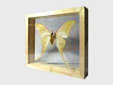 Moon Moth Real Butterfly Taxidermy Display Double Side Glass Framed Gift gpasy