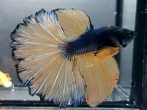Vvip Laxury! (Premium Live Betta Fish) : Male : Giant Rosetial Yellow Steel