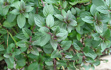 Chocolate Mint - 10+ seeds - SPECIAL and AROMATIC!