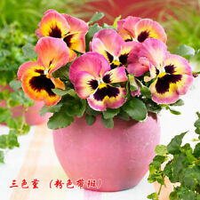 Bloom exotic 50 Pansy Flower Seeds Clear Crystals Viola Wittrockiana A070