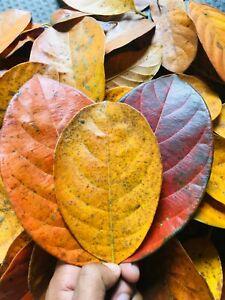 Natural Dried Jack Fruit 5Pcs Leaves Organic Bio Film Shrimp Aquarium Ceylon,,