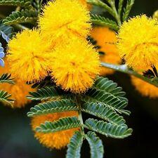 Golden Mimosa Tree Seeds (Acacia Baileyana) 20+Seeds
