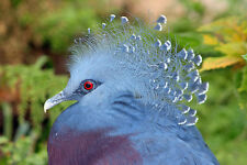 VIVID VICTORIA CROWNED PIGEON CLOSE-UP FINE ART GREETING CARD