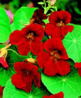 NEW!  35+ SCARLET RED NASTURTIUM FLOWER SEEDS / RE-SEEDING ANNUAL