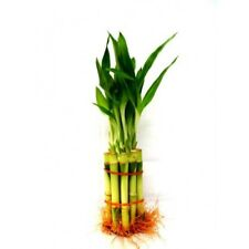 """10 Stalk 4"""" Straight Lucky Bamboo Real Live Indoor Plant WORLDWIDE SHIPPING"""