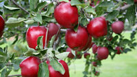 """ESTABLISHED TREE RED DELICIOUS APPLE TREE ROOTED 40"""" TO 50"""" TALL! GRAFTED!"""