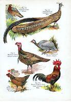 1908 Ave Estampado ~ Argus-Pheasant Guinea Aves Mexicana Turquía Marrón Granja