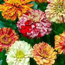 Zinnia Candy Stripe Mix 100 seeds * Unusual Color * Cut Flower * CombSH D34