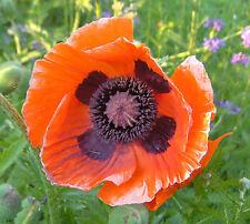 1x Papaver orientale 'Brilliant Orange' ( Perennial Poppy, Poppie ) Flower