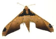 Unmounted Butterfly/Sphingidae - Adhemarius ypsilon, male, Bolivia