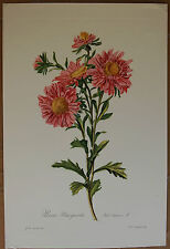 Van Spaendonck  Floral Print  Pink Aster  Open Edition Reproduction 1800's Print