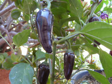 Pepper Seeds, PURPLE JALAPENO, 25 Very Hot, Heirloom, Non-gmo Seed FREE SHIPPING