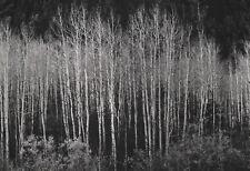 Vintage Ansel Adam photo titled Aspens Autumn 1937 prnt date 1963  9.25 x 6.5 in