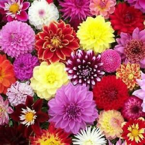 Dahlia Lubega® Power Mixed Plug Plants Pack x6