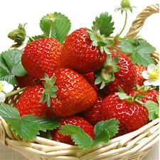 100pcs Red Strawberry Climbing Strawberry Fruit Plant Seeds Home Garden Kang