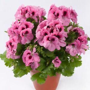 6 Regal Pelargonium Aristo  Pink  Basket Patio Jumbo  Plug Plants