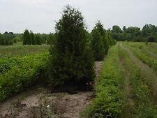 White Cedar Trees Arborvitae thuja 2-3' Lot Of 10