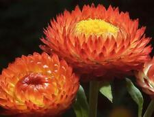 Helichrysum Copper Red Seed Annual Flowers Summer Drought Tolerant Strawflower