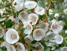 Eucryphia milliganii  - Dwarf Leatherwood 10 seeds