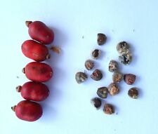 15 Thai Galangal Seeds, grow your own, ALPINIA GALANGA, from Ginger family