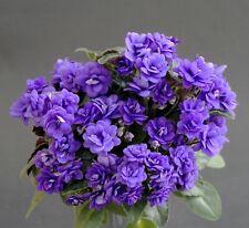 Sundown Trail 2 Blätter/ 2 leaves African Violet Usambaraveilchen-