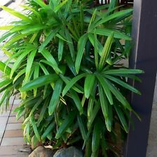 LADY PALM Rhapis excelsa highly desirable plant in 200mm pot