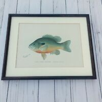 Antique 1890s Donton Lithograph Long Eared Sunfish Framed Print