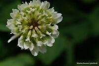 Weißklee - Trifolium Repens 3000 Samen Weiß Klee Futterpflanze  Heilpflanze
