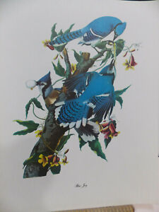 Vintage Audubon Art Print ~ Birds of America ~ Blue Jay ~ Roger Tory Peterson