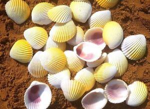 100g KERANG KUNING SEASHELLS FROM BALI (HOME DECOR / ART & CRAFT / AQUARIUM)