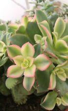 AEONIUM KIWI Variegated Esqueje de Planta suculenta Cutting Succulent Plant