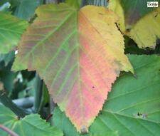 Acer davidii -  Streifenahorn -  Schlangenhaut-Ahorn -  Davids-Ahorn
