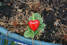 New listing 10 Unique Atomic Heart hot chili pepper seeds gives real heart shaped peppers!