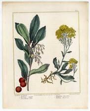 Arbutus-Alyssum-Blumen-Kupferstich Edwards-Sansom 1806