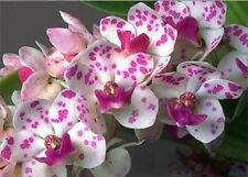 Orchid (spotty purple) young plant. World Post Free