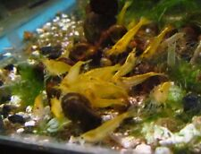 Yellow Shrimp Live Freshwater Aquarium Fish